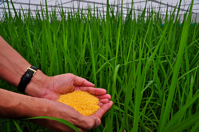 """Golden Rice grains"" © International Rice Research Institute (IRRI)"